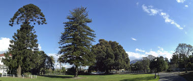 Bunya-Bunya, Norfolk Island Pines and Big Fig Royalty Free Stock Photos