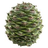 Bunya Pine Cone. Cone of the bunya pine, Araucaria bidwillii, is a large fruit 20-35 cm in diameter and when mature release large 3-4 cm seeds or nuts. It is Royalty Free Stock Photo