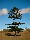 Bunya pine tree royalty free stock image