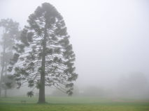 Bunya tree in fog Stock Photos