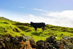 Buoi in bianco e nero che pascono sopra le nuvole, scena rurale del paesaggio delle Azzorre, vista della campagna, animale da all immagini stock