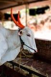 Buoi Bullock legato ad una corda Fotografia Stock Libera da Diritti