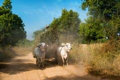 Buoi che tirano carretto con fieno Myanmar (Birmania) Immagini Stock