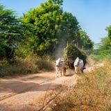 Buoi che tirano carretto con fieno Myanmar (Birmania) Fotografia Stock Libera da Diritti
