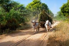 Buoi che tirano carretto con fieno Myanmar (Birmania) Fotografia Stock