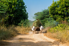 Buoi che tirano carretto con fieno Myanmar (Birmania) Immagini Stock Libere da Diritti