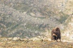 Buoi di muschio Norvegia fotografia stock libera da diritti