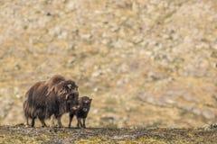 Buoi di muschio Norvegia fotografie stock