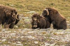 Buoi di muschio Norvegia fotografia stock