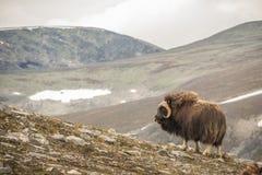 Buoi di muschio Norvegia immagine stock libera da diritti