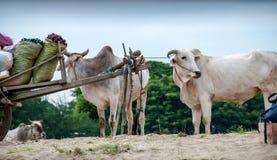 Buoi sulla banca del fiume di Irrawaddy fotografia stock libera da diritti