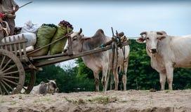 Buoi sulle banche del fiume di Irrawaddy immagini stock libere da diritti