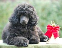 Buon anno del cucciolo del barboncino della decorazione di Natale Immagini Stock Libere da Diritti