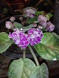 Buon fiore del orkid per la Sri Lanka immagini stock