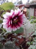 Buon fiore per la Sri Lanka immagine stock