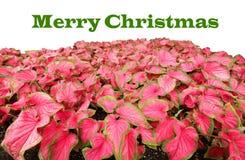Buon Natale scritto nel verde sopra i caladiums rossi immagini stock