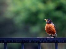 Buongiorno - Robin Fotografia Stock Libera da Diritti