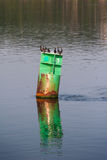 Buoy on Kennebec River. Birds sitting atop a green rusted buoy on the Kennebec River and a reflection of the buoy in the water Stock Photo