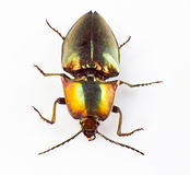 Buprestid beetle Stock Photo