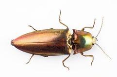 Buprestid beetle Stock Photography