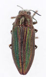 Buprestid Beetle Stock Image