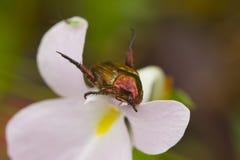 Buprestid på Zingiberaceae från rainforest Arkivfoto