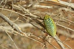 Free Buprestidae Beetle With Yellow Spots Sitting On Desert Tree , Coleoptera Stock Photos - 170681253