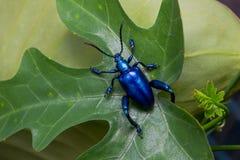 Buqueti Sagra жука лист лягушки шагающее Стоковые Изображения