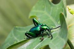 Buqueti Sagra жука лист лягушки шагающее Стоковые Изображения RF