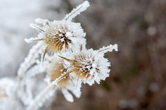 Bur в диком растении заморозка a в снеге Стоковое Фото