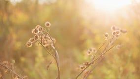 Bur in autumn sun, pan stock video footage
