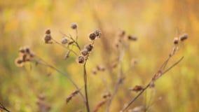 Bur in autumn sun, pan stock footage