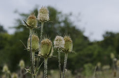 Bur and blossom of teasel comb (Dispacus sylvestris) Royalty Free Stock Images