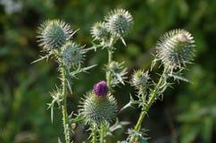Bur. Carduus acanthoides. Ukraine. Bur. Carduus acanthoides Чертополох колючий.Summer time thorn Stock Photo