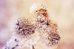Bur covered with clear ice and snow Royalty Free Stock Images