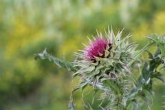 Bur flower Stock Image