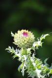 Bur Flower Royalty Free Stock Images