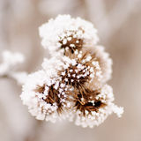 Bur on the frost Royalty Free Stock Image