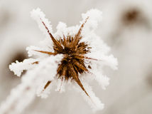 Bur on the frost Royalty Free Stock Photos