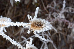 Bur in the frost. A wild plant in the snow. Winter plants, dried flowers with layers of snow. Bur in the frost. A wild plant in the snow stock photos