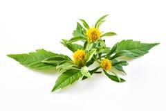 Bur-marigold - Bidens cernua Royalty Free Stock Image