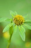 Bur-marigold Stock Image