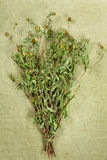 Bur marigold.Dried herbs. Herbal medicine, phytotherapy medicina Stock Photography