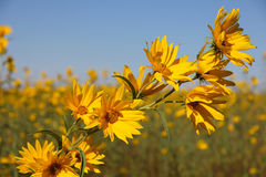 Bur-Marigolds Stock Photo