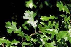 Free Bur Oak Leaves  51262 Royalty Free Stock Photo - 198603585