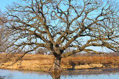 Bur Oak (Quercus macrocarpa) Royalty Free Stock Photo