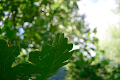 Bur Oak (Quercus macrocarpa) Leaves in the Summer Royalty Free Stock Images