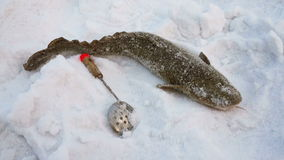 Burbot stock video footage
