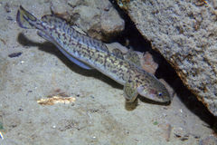 Burbot fish Royalty Free Stock Photo