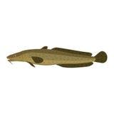 Burbot ling mariah lawyer lota gadiform freshwater fish Royalty Free Stock Images